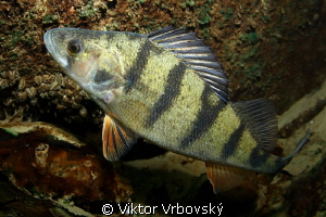 European perch (Perca fluviatilis) by Viktor Vrbovsk&#253; 